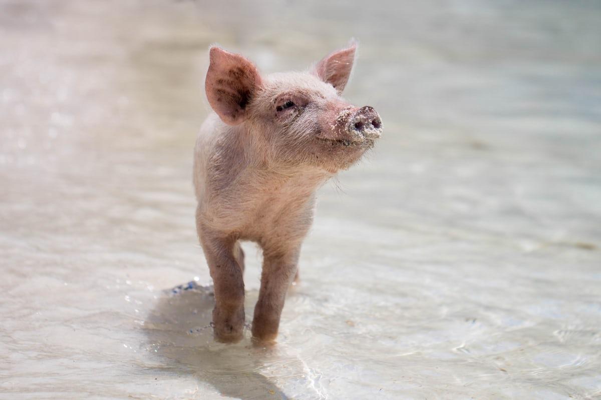 Свинка Пеппа на тропе войны